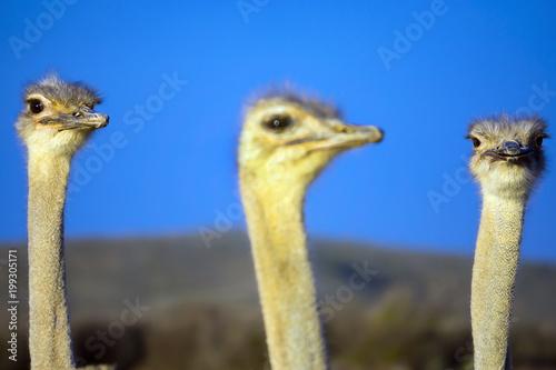 In de dag Struisvogel Vogel Strauß