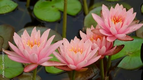 Poster Waterlelies Seerosen im Teich, verschiedene Farben