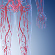 canvas print picture - 3d rendered medically accurate illustration of the human leg blood vessels