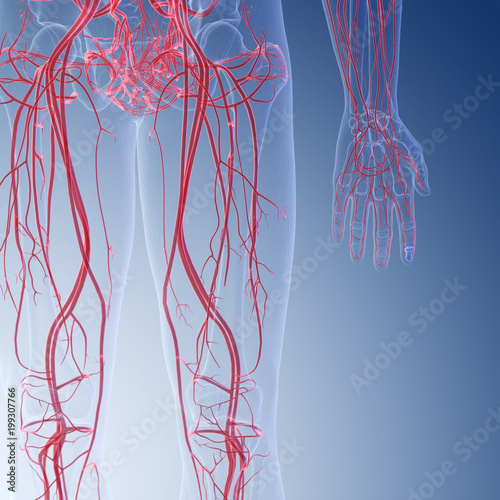 3d rendered medically accurate illustration of the human leg blood vessels Canvas Print