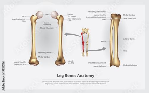 Human Anatomy Leg Bones with Detail Vector Illustration - Buy this ...