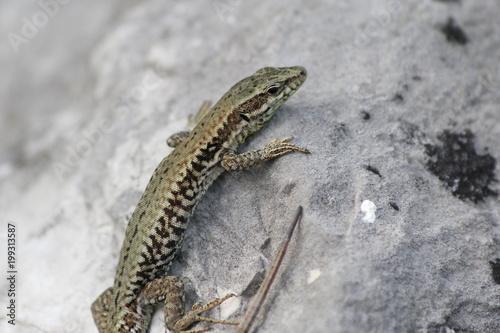 Lizard on a rock Poster