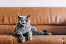 Portrait Of Chartreux Cat Rela...
