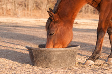 Red Bay Horse Eating Her Feed Out Of A Rubber Pan In Pasture