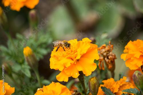 Plakat Pszczoła na Tagete