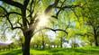 Obstbäume auf schöner Wiese, mit der Sonne und der Silhouette eines Baums