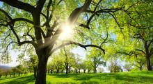 Obstbäume Auf Schöner Wiese,...