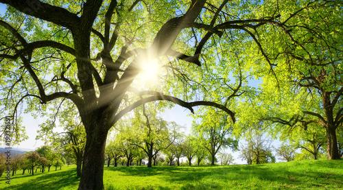 Foto op Canvas Beige Obstbäume auf schöner Wiese, mit der Sonne und der Silhouette eines Baums