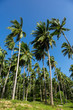 Palm trees on a blue sky and white clouds background, California