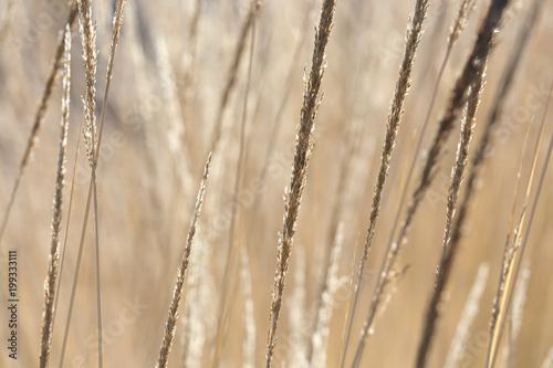 Staande foto Paardebloemen en water close-up image of reeds fluttering in the wind