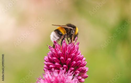 Staande foto Bee Hummel Blume Pink