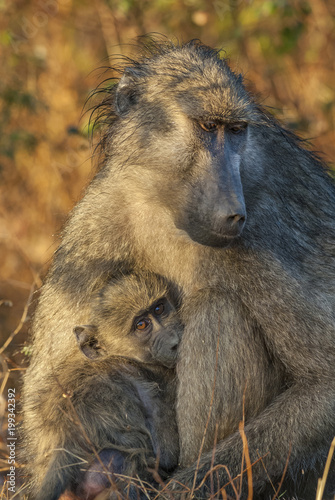 Fotografie, Obraz  Baboon, mother and son, South Africa