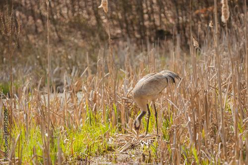 Fotografia, Obraz  Brütender Graukranich, das Gelege liegt im trockenes Schilf in einem Sumpfgebiet