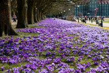 Beautiful Colorful Crocuses In...