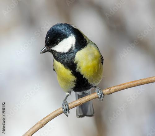 Fotografía  The Great Tit (Parus major) perched on a tree branch.