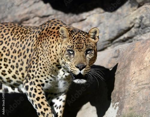 Deurstickers Luipaard leopardo en españa