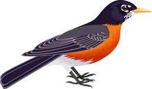 Vector American Robin (Turdus ...