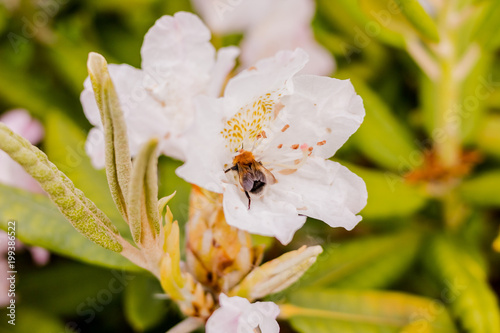 Deurstickers Azalea Honey bee pollinating a beautiful white early flowering spring azalea.Selective focus.Bumblebee in a pink azalea blossom or rhododendron in garden. Season of flowering azaleas.