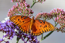 Orange Butterfly (Gulf Fritill...