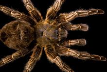 Big Hairy Tarantula Isolated
