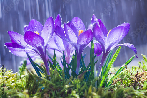 Fotografija Spring flowers of blue crocuses in drops of water on the background of tracks of