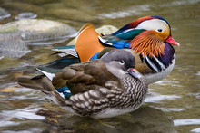 A Pair Of Mandarin Ducks Stand...