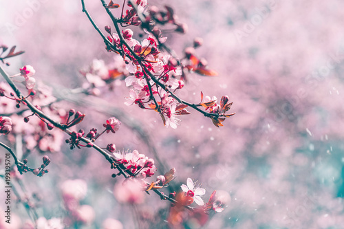 Sakura flowering. Tree branch with beautiful flowers in pink light and flying petals