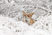 Red Fox In A White Winter Landscape