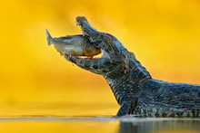 Yacare Caiman, Crocodile With Fish In With Open Muzzle With Big Teeth, Pantanal, Bolivia. Detail Portrait Of Danger Reptile. Caiman With Piranha. Crocodile Catch Fish In River Water, Evening Light.