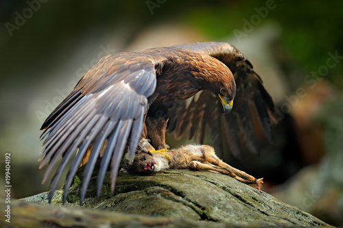 Eagle catch deer. Golden Eagle, Aquila chrysaetos, feeding on kill animal in rock stone mountains. Animal behavior, bird with open wing with catch. Austria nature wildlife.