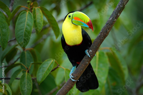 In de dag Toekan Wildlife Costa Rica. Tropic bird. Toucan sitting on the branch in the forest, green vegetation. Nature travel holiday in central America. Keel-billed Toucan, Ramphastos sulfuratus, beautiful bird.