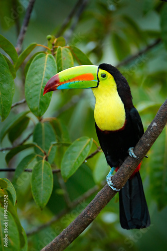 In de dag Toekan Tropic bird. Toucan sitting on the branch in the forest, green vegetation. Nature travel holiday in central America. Keel-billed Toucan, Ramphastos sulfuratus, beautiful bird. Wildlife Nicaragua.