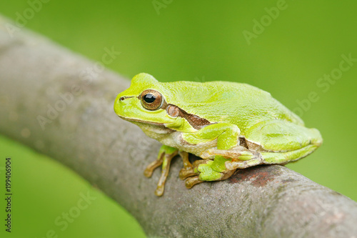 Fotobehang Kikker Green Tree frog, Hyla arborea, sitting on grass straw with clear green background. Nice green amphibian in nature habitat. Wild European frog on meadow near the river, habitat. Spring wildlife nature.