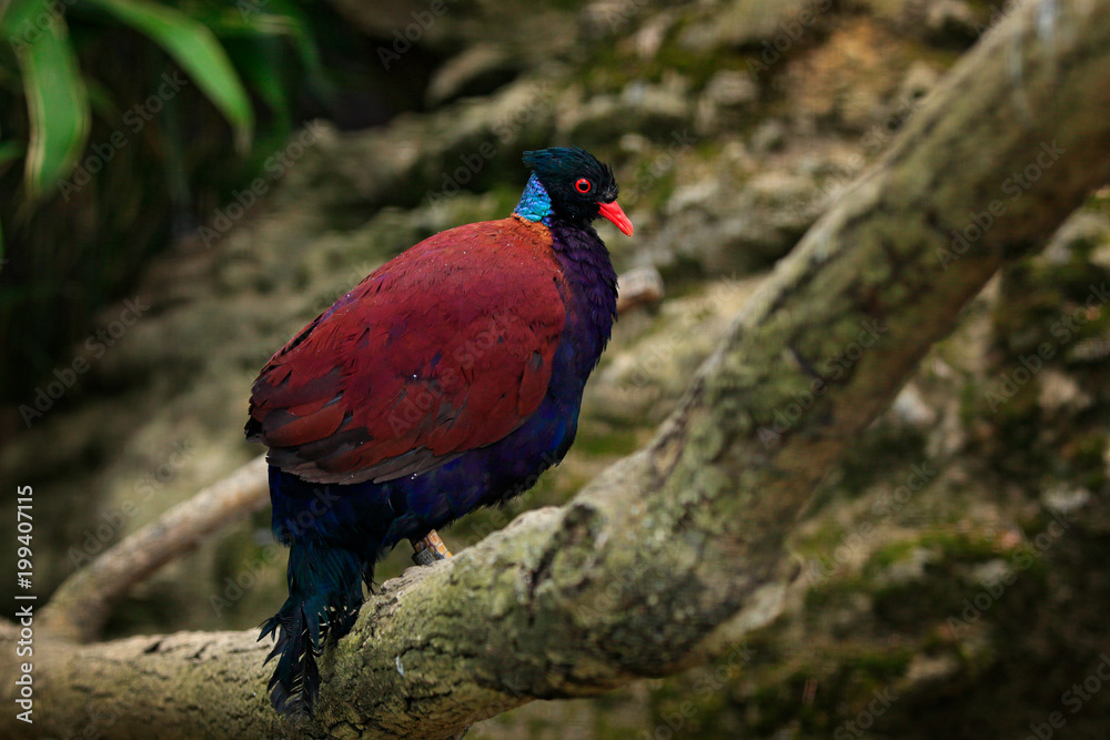 Green-naped Pheasant-pigeon,  Otidiphaps nobilis, rain forest of New Guinea and nearby islands. Rare bird in the habitat. Pigeon sitting on the tree branch. Dove from Asia, nature wildlife.
