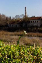 Hornungia Alpina Flower And Low Grass On The Background Of Abandoned Factory On The Bank Of Maritsa River, Pazardzhik, Bulgaria