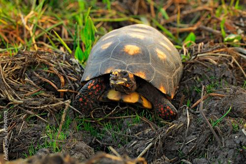 Red-footed tortoise, Chelonoidis carbonarius, turtle from Pantanal, Brazil. Tortoise with red leg. Animal in nature habitat. Wildlife Brazil.