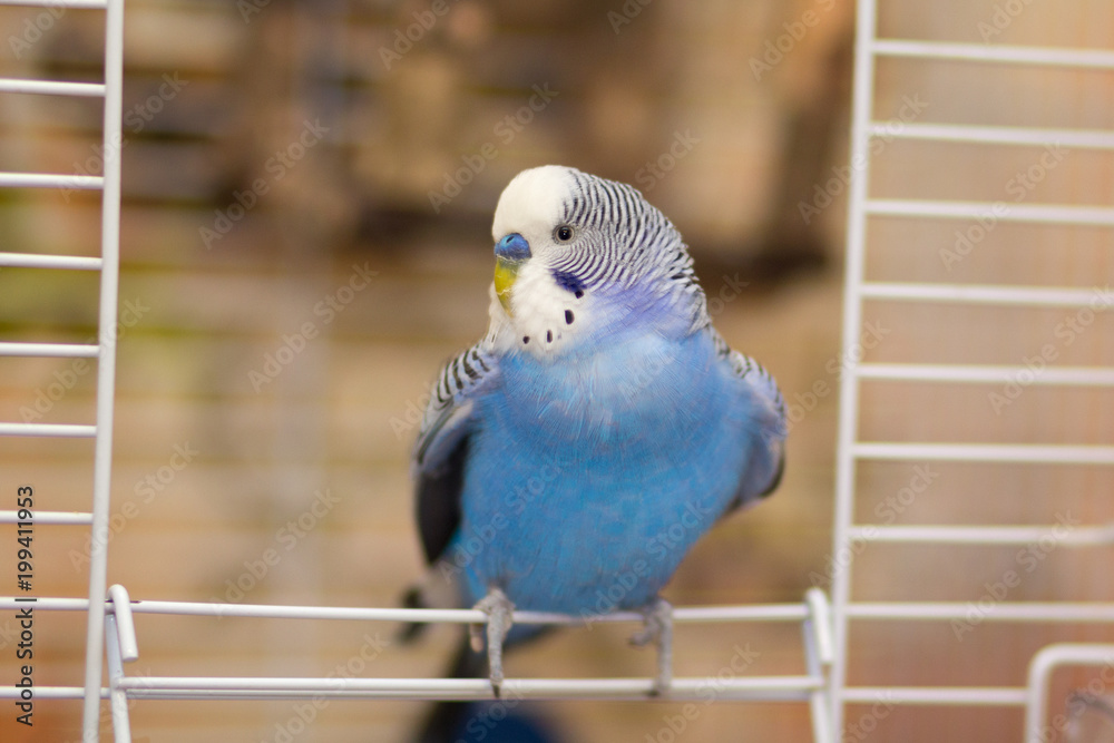 Blue wavy parrot sits at the exit of the cage. Birds