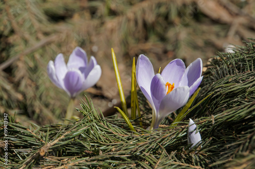 Deurstickers Krokussen Early violet crocus flowers in sunny spring day