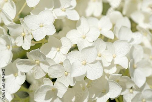 Deurstickers Hydrangea Weiße Hortensien, Hydrangea