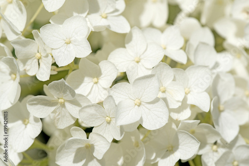 Fotobehang Hydrangea Weiße Hortensien, Hydrangea
