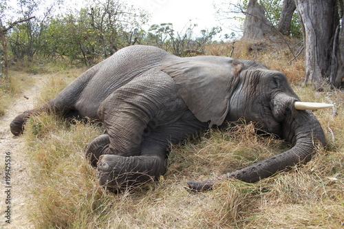 Resting big elephant lying in the grass - Botswana Canvas Print