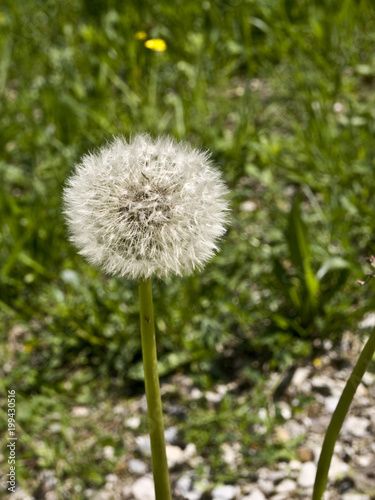 Fotografia  Kwiat mniszka lekarskiego, mniszek lekarski