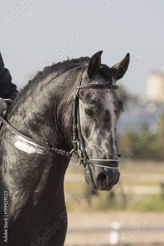 Fotografie, Obraz  Retrato de un caballo cartujano en una competicion de doma