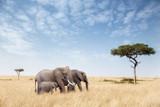 Fototapeta Sawanna - Elephant group in the Masai Mara
