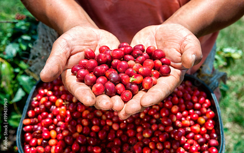 Red ripe coffee berries