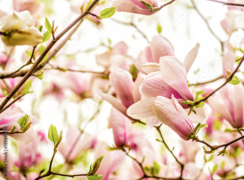 purple and white chinese magnolia tree blooming in spring on blue sky background