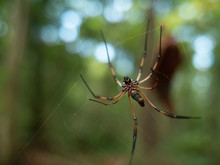 Underside View Of A Golden Orb-weaver Spider On A Web In The Seychelles