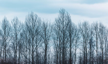 Row Of Bare Winter Trees Under...