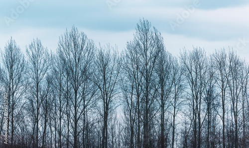 Row of bare winter trees under cloudy sky. Canvas Print