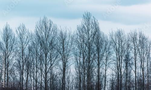 Valokuvatapetti Row of bare winter trees under cloudy sky.